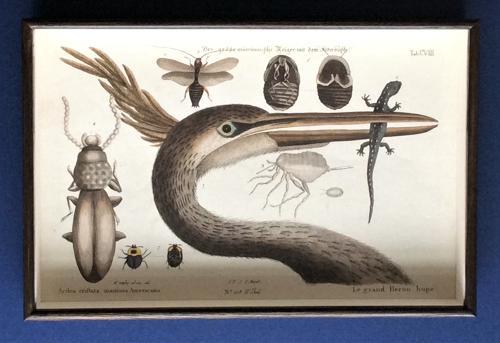 Seligmann Engravings of Waterbirds