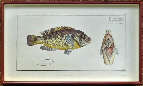 Bloch Engravings of Fish