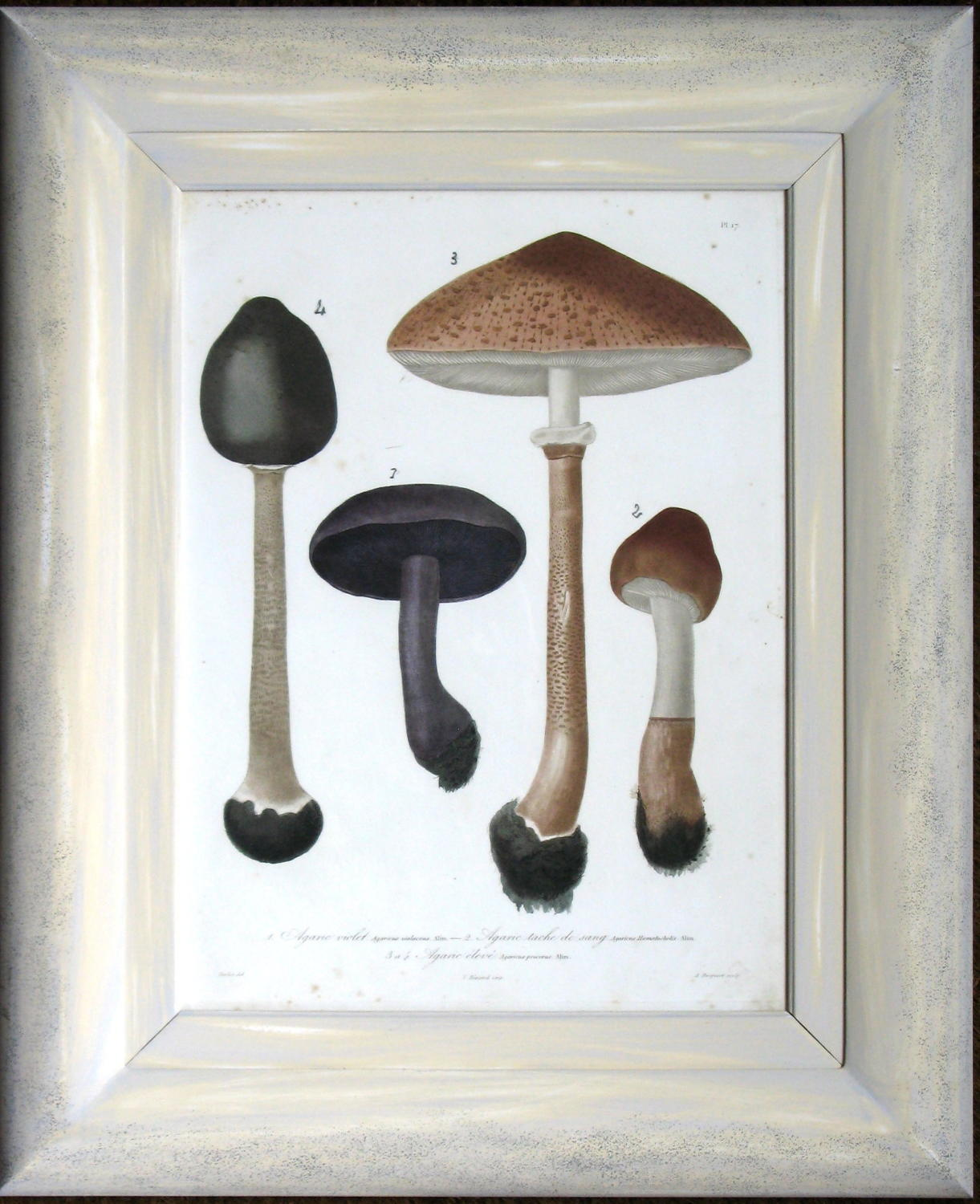 Roques Engravings of Mushrooms