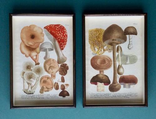Weinmann - 18th century engravings of mushrooms