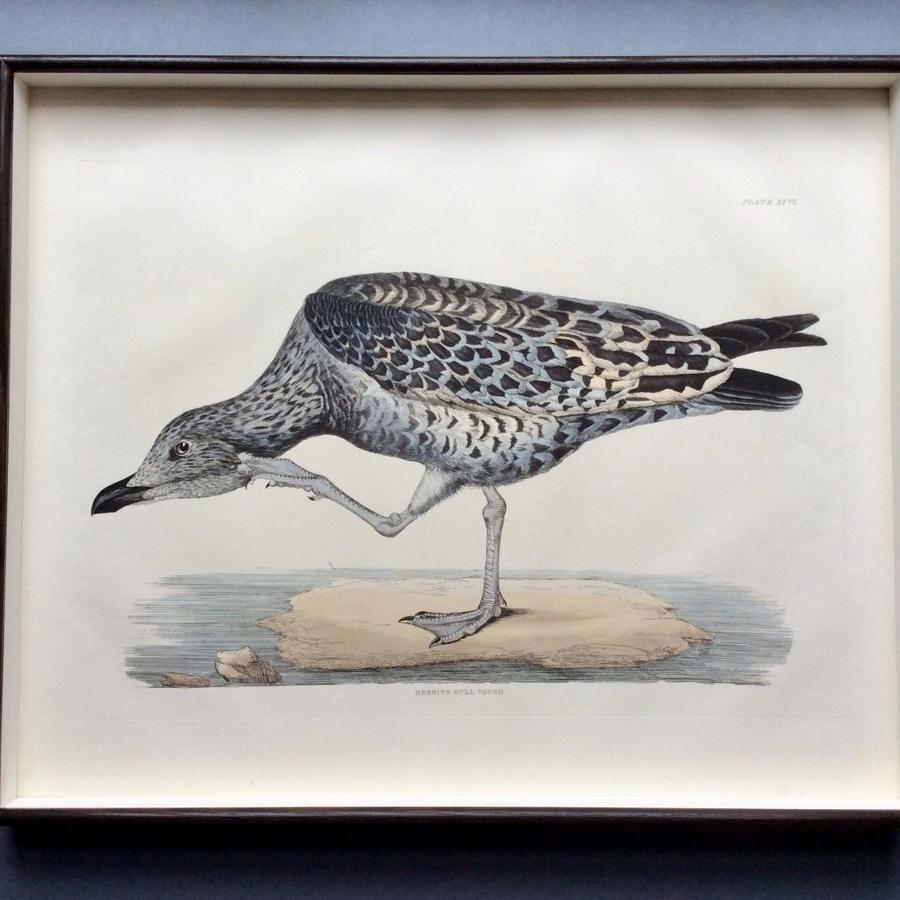 Prideaux John Selby - 19th century engravings of British water birds