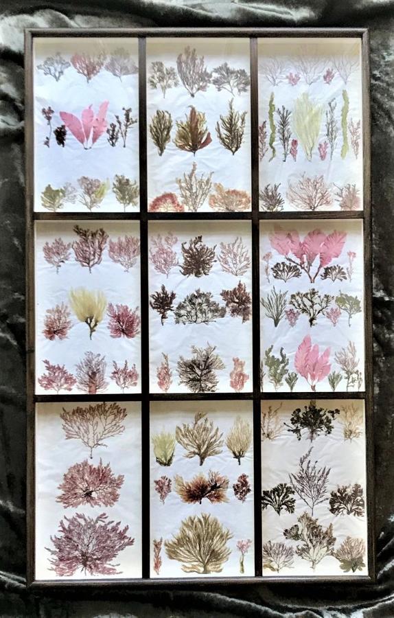 19th century British Seaweed Specimens