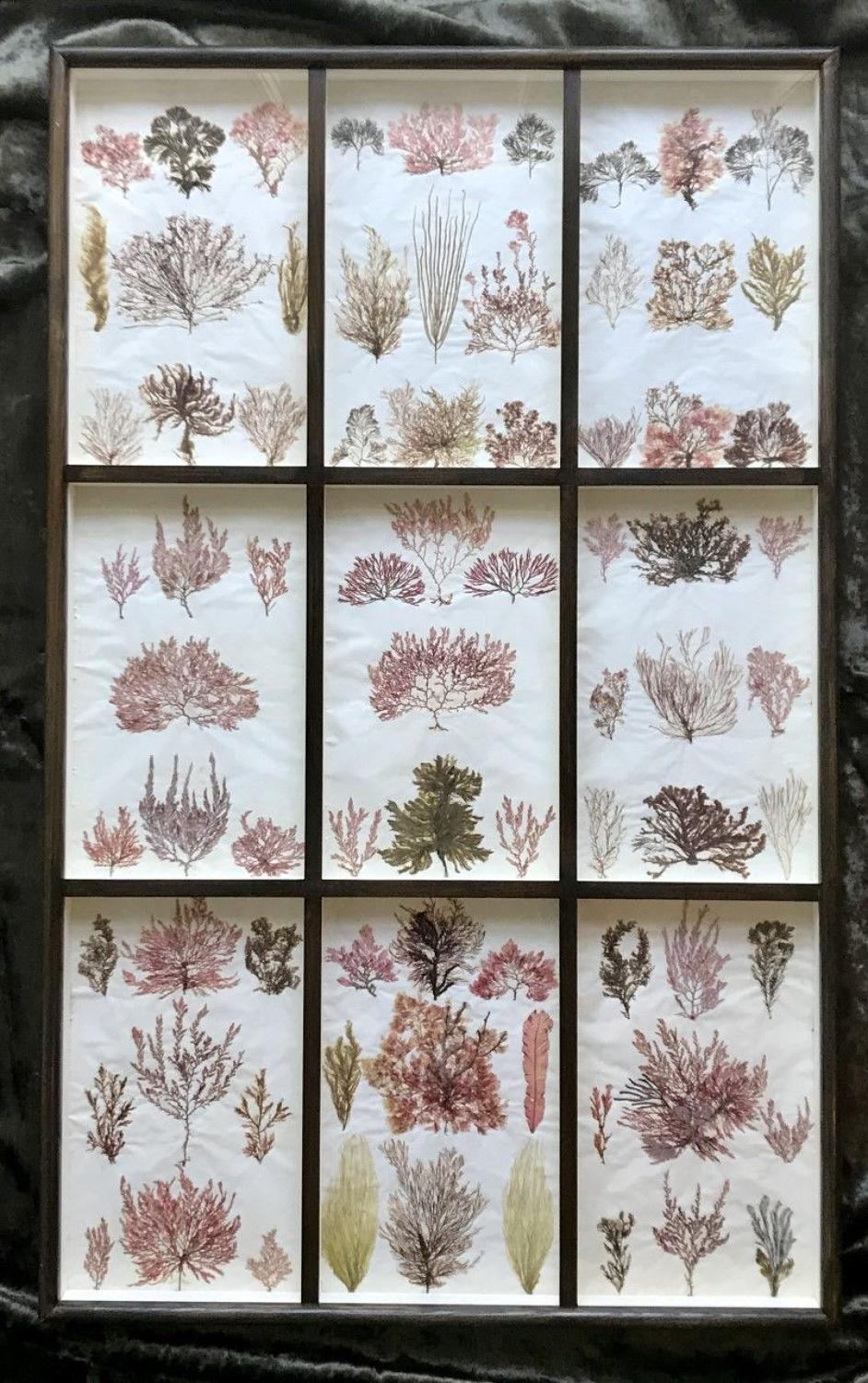 19th century British Seaweed Specimens