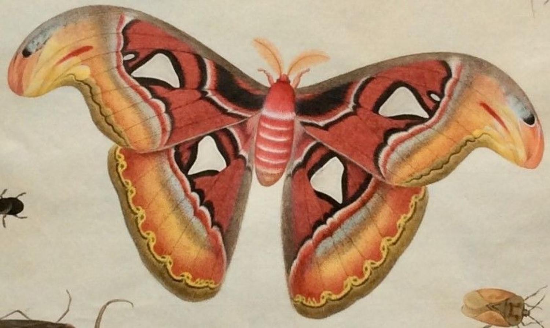 Chinese Company School Watercolour Studies of Butterflies etc.